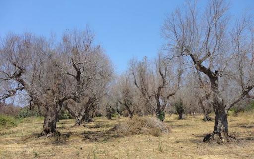 Xylella Fastidiosa - Accesso al Fondo di Solidarietà nazionale per la perdita di produzione olivicola nell'annualità 2020